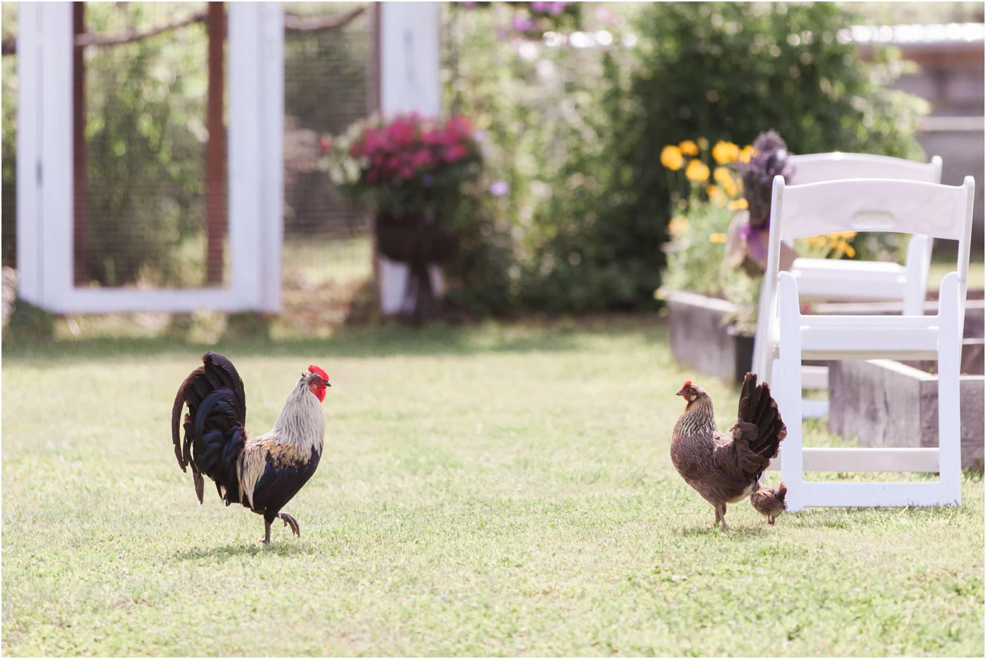 chickens at wedding ceremony